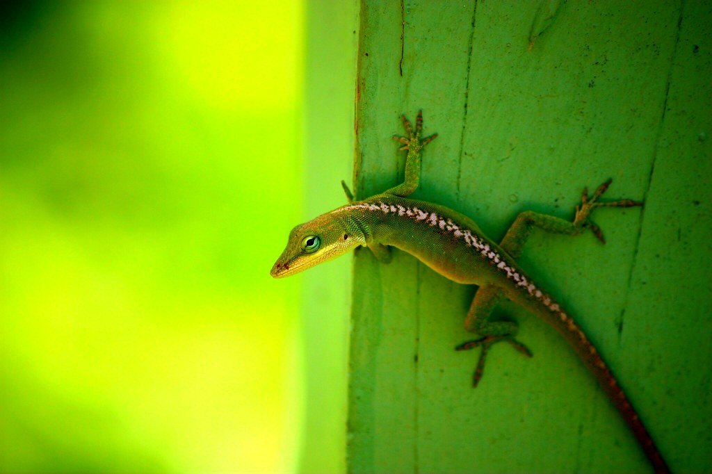 The Allerton Gecko