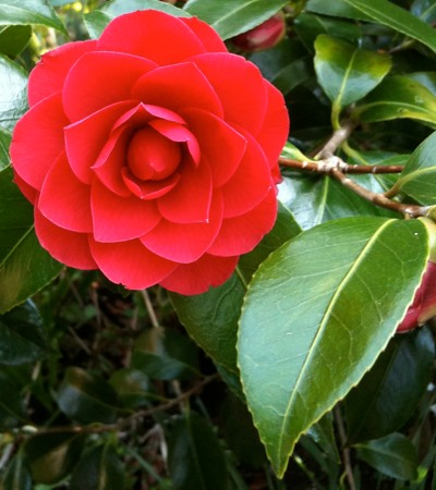 Red camellia from my parents' garden (April 2010)