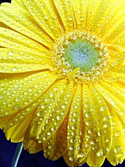 Gerbera in the Rain (flickrfrank2) Tags: macro nature floral southafrica interestingness johannesburg gauteng naturesfinest fujifinepixs9500 aplusphoto lifeinyellow flickrfrank1 flickrfrank2