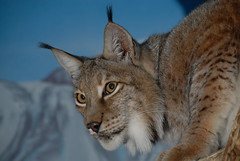 Lynx (cc par guppiecat)