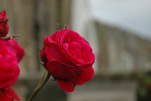 Cemetry rose