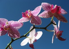 Orchid and sky (palestrina55) Tags: orchid nature floral ping 2007 palestrina55 photofaceoffwinner pfogold friendlychallenges thechallengefactory fotocompetitionbronze