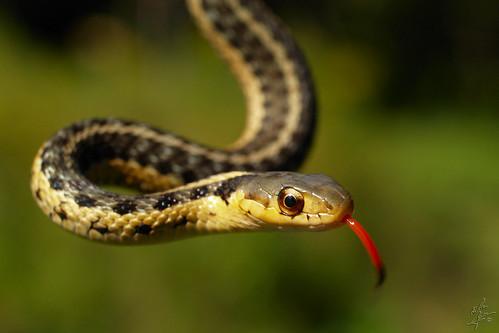 Garter Snake / Couleuvre rayee