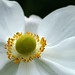 Photo: Anemone 'Honorine Jobert'