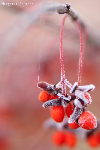 Frosty Morning 4 - Burning Bush