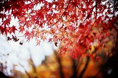 spangling (moaan) Tags: life leica november autumn red orange color 50mm glow dof bokeh diary f10 momiji japanesemaple utata glowing mp noctilux hue tinted spangled 2010 fujivelvia100 tinged rvp100 leicamp autumnaltints inlife leicanoctilux50mmf10 diaryofnovember spangledwithred gettyimagesjapanq1 gettyimagesjapanq2