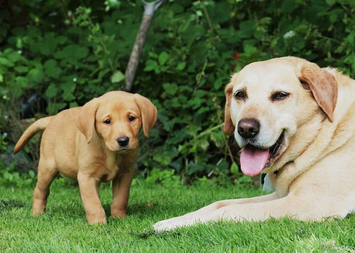 yellow labrador retrievers - Gin and Honey