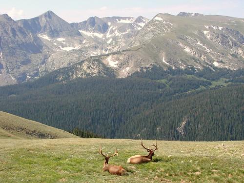 12 point Elk in the Rockies