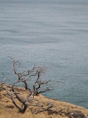 Day6 : Maui - Beach Tree (Amudha Irudayam) Tags: tree beach hawaii maui amu amudha