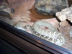 Philadelphia Zoo - Black-tailed Rattlesnake (fkalltheway) Tags: snake rattlesnake philadelphiazoo reptilehouse crotalusmolossus blacktailedrattlesnake fkalltheway