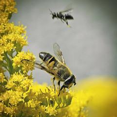 Flies (Jrg Dickmann Photography) Tags: flower macro germany insect deutschland fly flying flies makro insekt hoverfly fliege syrphidae schwebfliege naturesfinest sigma150 sigma150mm canon400d nuttlar