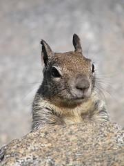 Secret Squirrel (jimbowen0306) Tags: california ca usa animal animals america us nationalpark squirrel squirrels unitedstates yosemite yosemitenationalpark nationalparks secretsquirrel yosemiteca olympussp550 sp550uz sp550 olympussp550uz