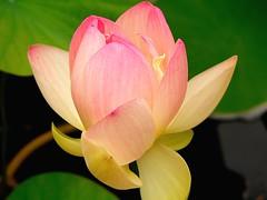 Lotus Opening (ladyloneranger) Tags: pink flower lotus botanicalgarden denvercolorado i500 interestingness4218aug07