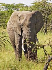 Elephant bull 2