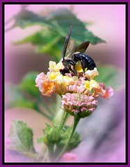 Bumblebee Atop Flower (Domesticated Diva) Tags: flower macro eye zoo knoxville tennessee framed bumblebee vignette aclass naturesfinest flickrsbest mywinners anawesomeshot colorphotoaward impressedbeauty superbmasterpiece blackribbonbeauty macromarvels