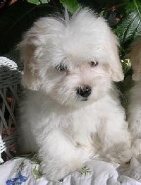 Coton de Tulear Puppy by mydar...
