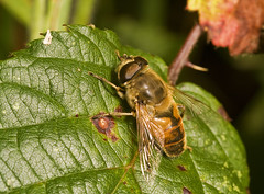 "Hoverfly (Eristalis arbustorum)(1) • <a style=""font-size:0.8em;"" href=""http://www.flickr.com/photos/57024565@N00/1432349475/"" target=""_blank"">View on Flickr</a>"