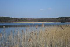Reed (ThomasKohler) Tags: lake reed nature see natur teich mv mecklenburg feisneck seenplatte feisnecksee