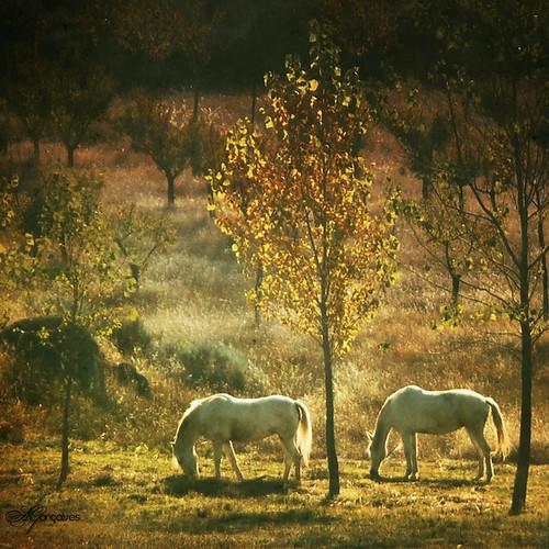 Cavalos (III)