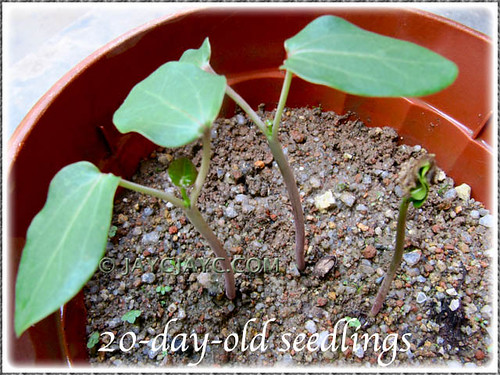 20-day-old seedlings of Jatropha podagrica (Buddha Belly Plant, Gout Stick, Gouty Stalk, Purging Nut) in our garden