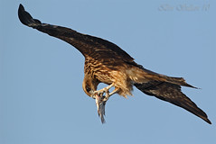 Black kite  -  () Tags: kite black bird birds bin sultan qatar  birdwatchers