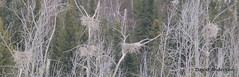 Great Blue Heron Nests (kenoradave) Tags: heron forest boreal
