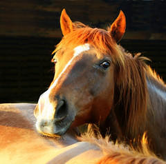 A Simple Gaze (Little Laddie) Tags: sunset horse barn shadows farm gazing coolest flickrsbest