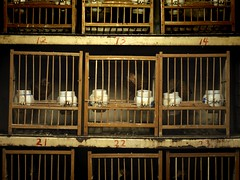 Caged birds at the market