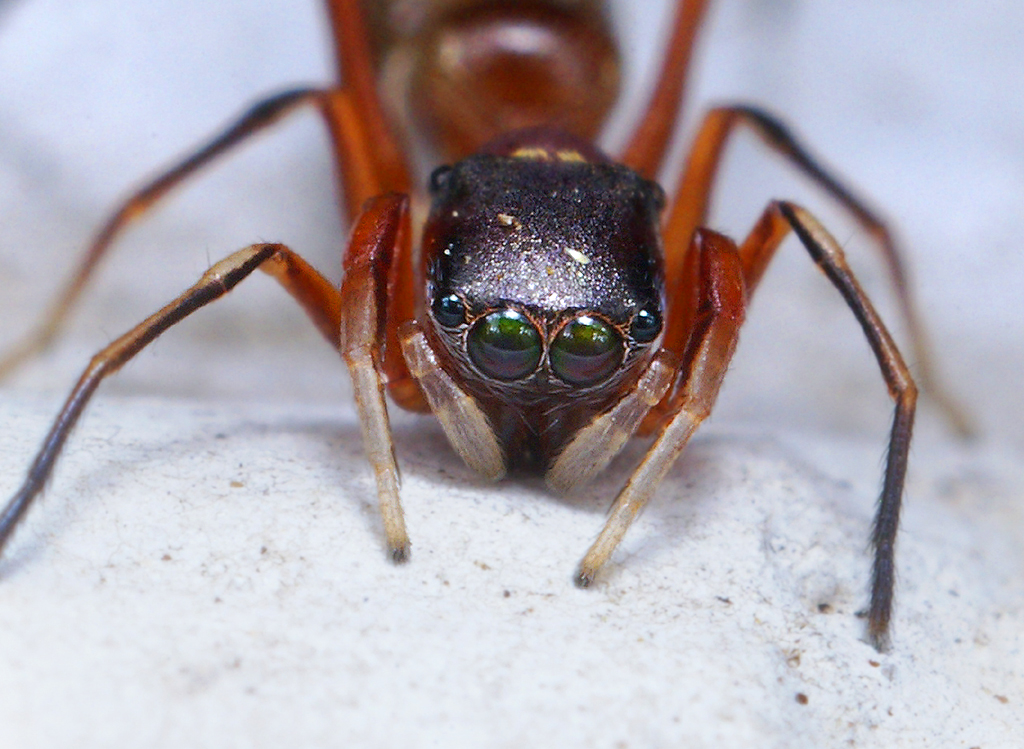 Bug close-up: Ant Mimic Spider Face