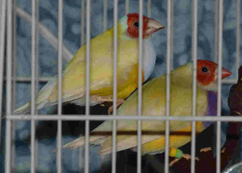 Yellow Gouldian Pair
