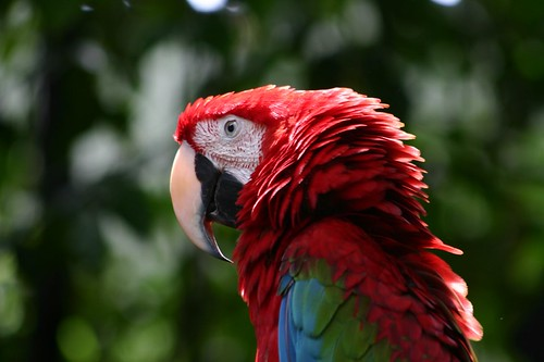 Ara parrot in Singapore's fantastic Zoological Gardens...