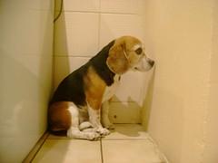 Tica posing / Tica posando 2 (Monshinita) Tags: cute beagle animal small bonita pequeña femaledog perra tica