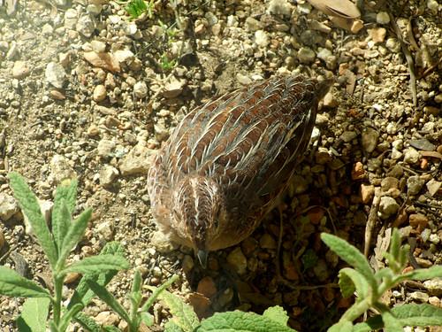 Stubble Quail (Coturnix pectoralis) in Central Australia.