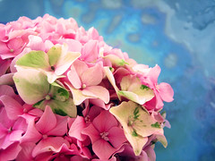 A splash of green (a m photography) Tags: pink flowers blue flower vibrant hydrangea explored flowersonblue