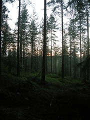 Sundown in the forest at Keljonkangas (Suviko) Tags: suomi finland jyvskyl mets 2007 keljonkangas