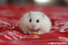We loved you Bean (Seattle Roll) Tags: pet pets animal animals thankyou rip hamster campbell tamron hamsters a16 d80 1750mm