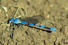 Beautiful Blue Eyes (DanS Photography) Tags: blue insect wildlife explore damselfly naturesfinest outstandingshots flickrsbest mywinners