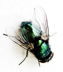 The Fly (tad2106) Tags: nature animal canon bug insect fly wings wildlife ixus creature housefly canonixus naturesfinest blueribbonwinner greenbottlefly welltaken bdppow 7daysofshooting