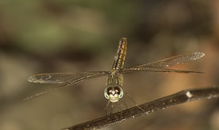 Orange-Dragonfly (dr ama) Tags: deleteme5 deleteme8 deleteme deleteme2 deleteme3 deleteme4 deleteme6 deleteme9 deleteme7 saveme4 saveme5 saveme saveme2 saveme3 deleteme10 drama