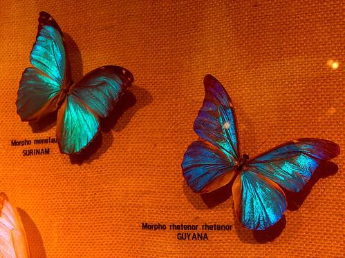 8s-Morpho Butterflies