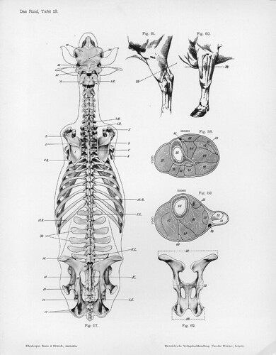 cow - dorsal skeletal views