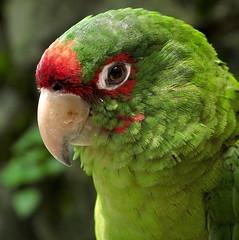 Bird of Machu Picchu (Mondmann) Tags: red green bird peru nature animal wildlife natureza feathers ave machupicchu passaro mitredconure aratingamitrata mitredparakeet canonpowershotg10
