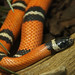 Mexican Milksnake - Photo (c) Allie_Caulfield, some rights reserved (CC BY)