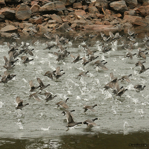 Stampeding Coots