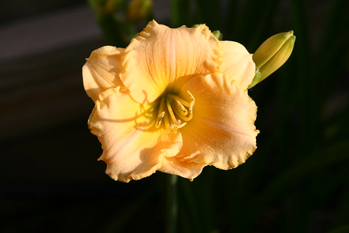Backyard daylily