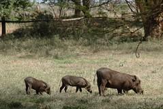 138 - Lewa - Warthogs (FO Travel) Tags: kenya nairobi nakuru karama lewa baringo naivasha turkana gabra chalbi suguta nariokotome kalacha loyangalani logipi