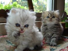 Washing after dinner (catherine.caf) Tags: cat persian kitten chat chaton persan cc200 cc100 abigfave kittysuperstar bestofcats impressedbeauty ysplix boc0707