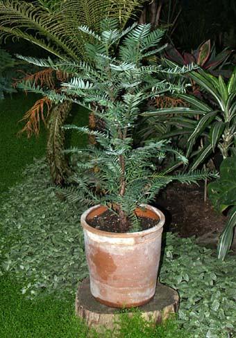 Wollemi pine1