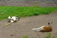 All tuckerd out (daylapt) Tags: wild minnesota animals zoo superior chillin greatlakes sleepy kangaroo duluth wildanimals dayla greatlakeszoo daylapt