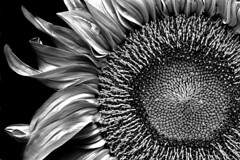 Sunflower (DARREN ST0NE) Tags: white canada black macro 20d canon macintosh eos interesting bravo bc britishcolumbia columbia victoria explore sunflower british photoshopcs lucisart photomechanic 60mmefs explored darrenstone lightgazer